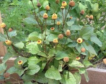 Toothache Plant (Eyeball Plant) Seeds