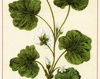 Botanical Print of Ivy from Wild Flowers of America