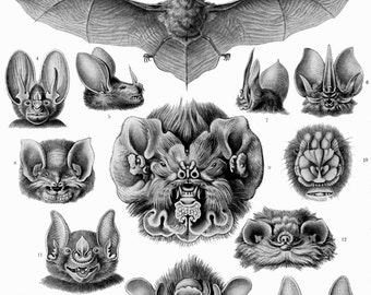 Ernst Haeckel Botanical Print - Nature Art Bat Biology Home Decor Wall Decor Giclee Art Print Poster A4 A3 A2 Large Print FLAT RATE SHIPPING