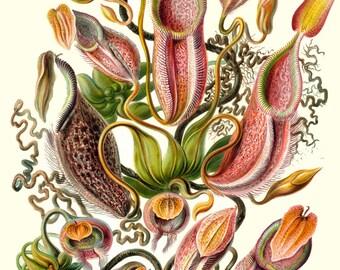 Ernst Haeckel Botanical Print - Nature Art Flowers