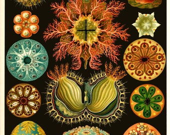 Ernst Haeckel Botanical Print - Sea Plants  Home Decor Wall Decor Giclee Art Print Poster A4 A3 A2 Large Print FLAT RATE SHIPPING