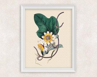 White Passion Flower BOTANICAL ART - 8x10 PRINT Passiflora - Flower Art - Antique Artwork - Item #129