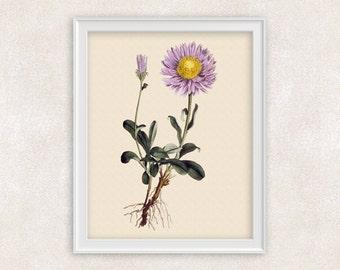 Aster Botanical Print - Purple Flower Art - Wall Art Prints - 8x10 PRINT - Home Decor - Botanical Art Print - Gifts For Her - Item #141
