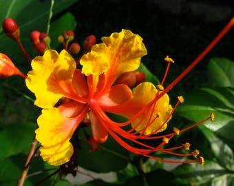 PRIDE OF BARBADOS Seeds - Organic Seeds - Barbados Tree Seed - Beautiful Orange Flowers