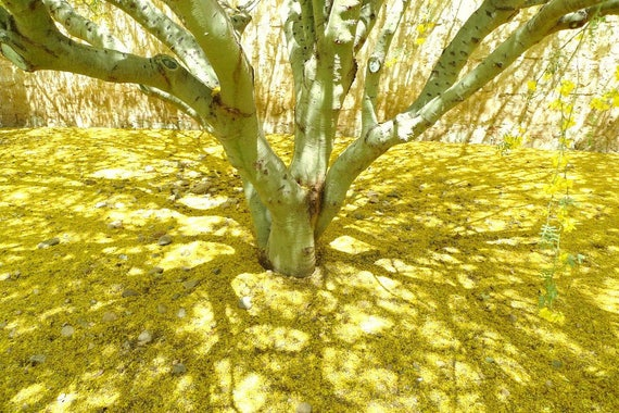 Palo Verde Tree Seeds 200 Fresh Organic Seeds With Free Etsy