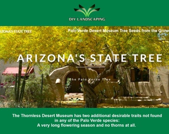 DESERT TREE SEED - Palo Verde Seeds - Thornless Tree Seed - Thornless Palo Verde - Plant For Decoration - Yellow Tree Seed