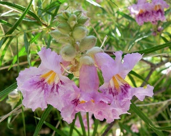 Purple Desert Willow Flower Seeds, Hummingbird Flowering Plant, Gardening Seed Packets, Purple Orchid Tree Seeds