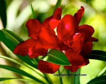 RED OLEANDER SEED - Nerium Oleander Seed - Vivid Red Seed - Oleander Plant Seeds - Red Flower Seeds - Flowers Lovers Gift