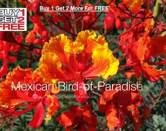 RED BIRD PARADISE Seeds - Peacock Flower Seed - Mexican Bird of Paradise - Beautiful Red and Yellow Flowers