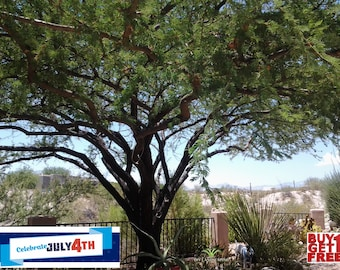 THORNLESS TREE SEED - Mesquite Tree Seeds - Fresh Tree Seed - Organic Tree Seed - Outdoor Gardening