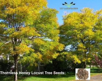 Thornless Honey Locust Tree - Fresh Tree Seeds - Ranch Tree Seed - Desert Tree Seed - Garden Decor Gift - Rare Tree Seeds