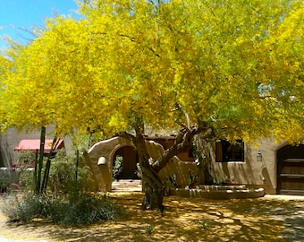 PALO VERDE SEEDS - Palo Verde Tree - Flower Tree Seeds - Fresh Tree Seeds - Seeds Ready For Planting