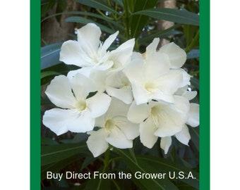 WHITE OLEANDER SEEDS - Vivid White seed - White Flower Seed - Outdoor Gardening - Oleander flower Seed - Flowers Lovers