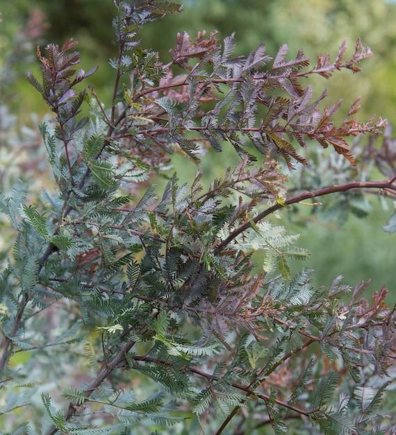 Cootamundra tree Acacia Baileyana Purpurea rare flowering wattle purple 50 seeds