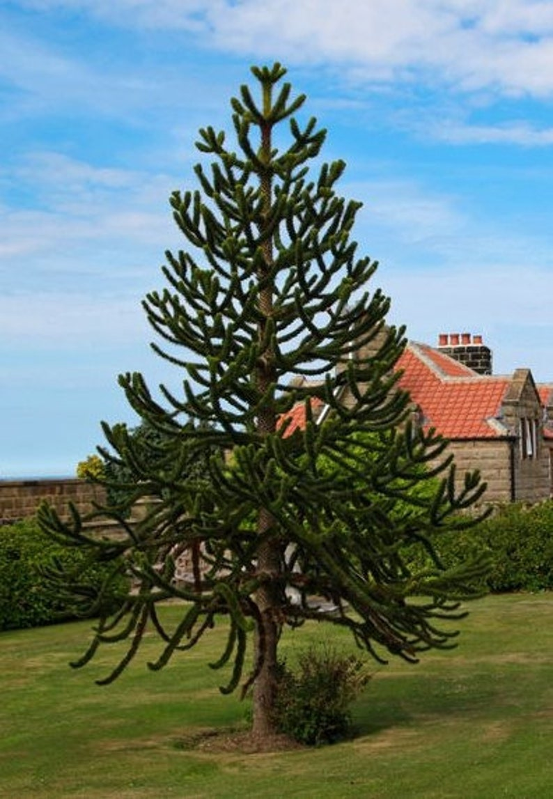 Araucaria Araucana Monkey Puzzle Tree 5 Seeds Very Etsy