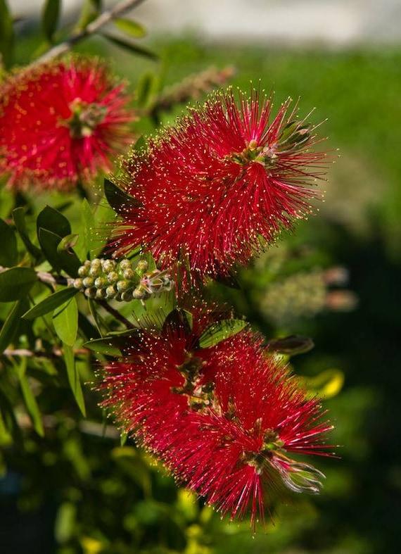 200 Seeds Callistemon Viminalis Weeping Bottlebrush