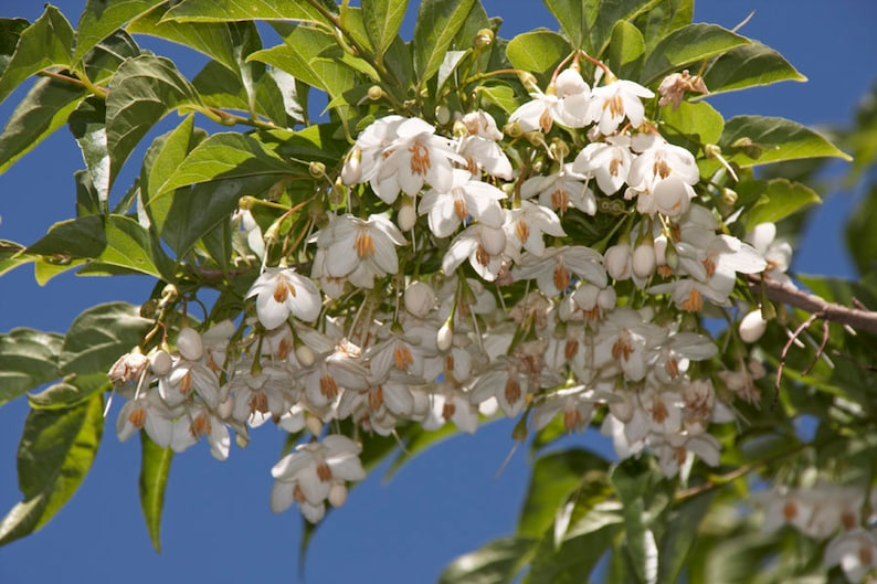 Styrax Japonica Japanese Snowbell 10 Seeds Beautiful Etsy