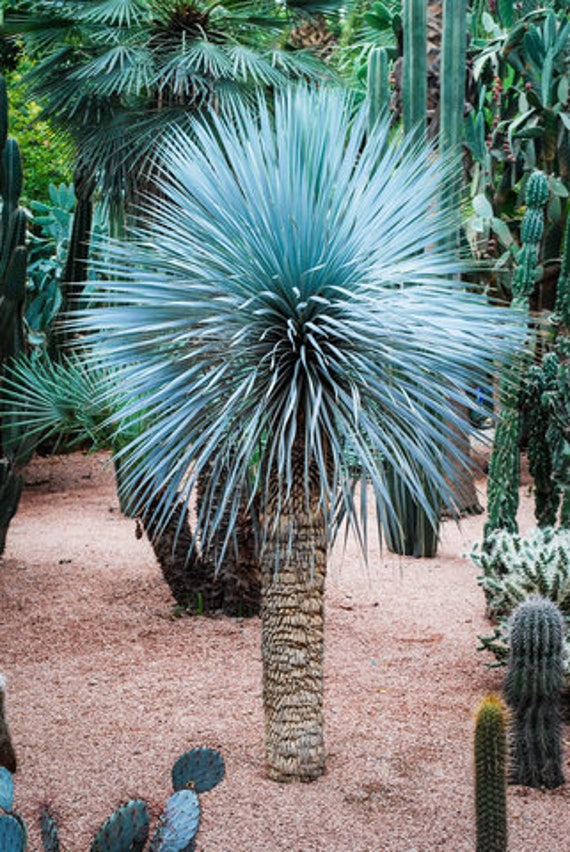 Yucca rostrata Samen winterharte immergrüne Palmenarten Palmen für den Garten