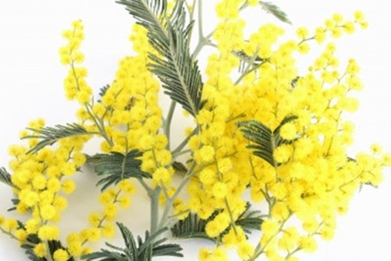 Acacia Dealbata Mimosasilver Wattle 25 Seeds The Most Etsy