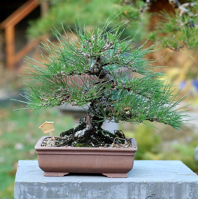 order-japanese-black-pines-online