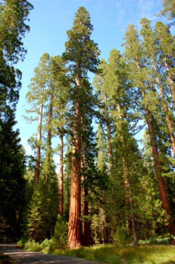 Sequoiadendron Giganteum Giant Sequoia 10 Seeds One Of Etsy