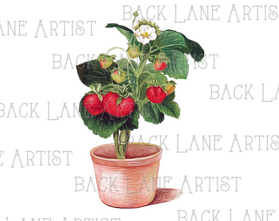 Line Drawing Of Rose Plant : Strawberries flowers plant hand painted clipart lineart etsy