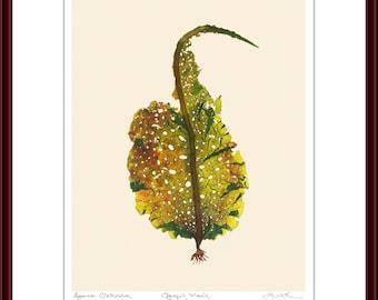 Pressed Seaweed Print, Agarum Clathratum, Ogunquit, Maine.  Item # 510301 ep.