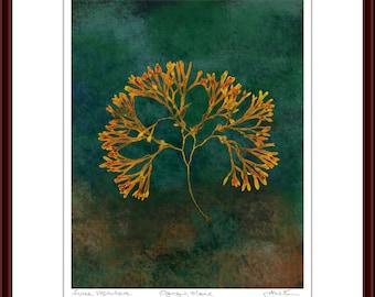 Pressed Seaweed Print, Fucus Vesiculosus, Ogunquit, Maine.  Item # 510102 ep.