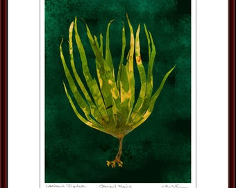Pressed Seaweed Print, Laminaria Digitata, Ogunquit, Maine.  Item # 510206 ep.