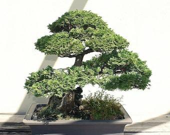 Cypress Bonsai Etsy