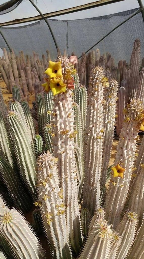 Hoodia Parviflora Amazing Medicinal Succulent Exotic Etsy