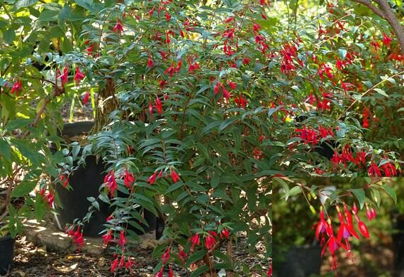Saltera sarococolla Cape Fellwort 5 Very Rare Tropical Plant Shrub Seeds