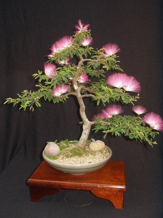 Albizia Julibrissin Mimosa Bonsai Pink Tree 10 Seeds Rare Etsy