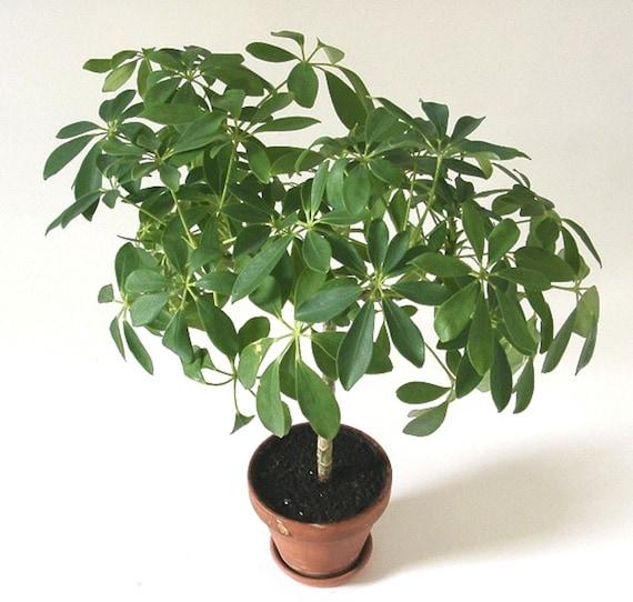 Schefflera Arboricola Dwarf Umbrella Bonsai Tree Rare Etsy