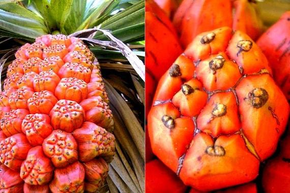 Pandanus Furcatus Himalayan Screw Pine Tree 3 Fresh Seeds | Etsy