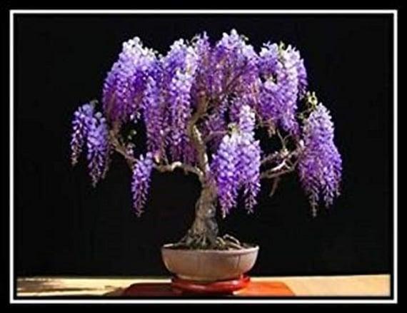Jacaranda Mimosifolia Ornamental Blue Jacaranda Bonsai Tree Etsy