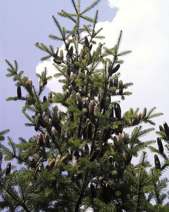 Balsam Christmas Trees.Abies Balsamea Balsam Fir Christmas Tree Bonsai Conifer Tree 10 Rare Seeds