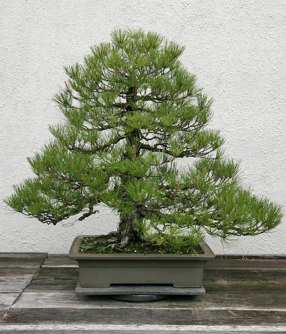 Pinus Thunbergii Japanese Black Pine Rare Bonsai Tree 10 Etsy