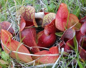 Sarracenia Purpurea * Purple Pitcher Plant * Carnivorous Plant * 10 Seeds *