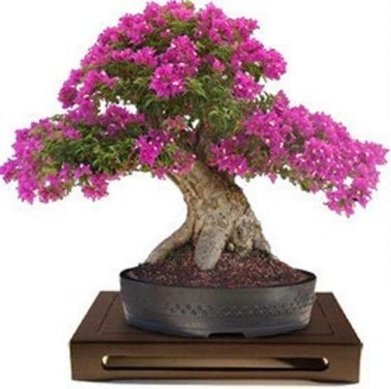 Lagerstroemia Indica Crape Myrtle Bonsai 10 Seeds Etsy