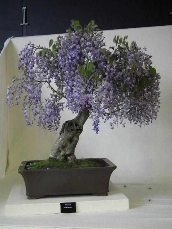 Paulownia Tomentosa Blue Royal Empress Bonsai Tree Rare Etsy