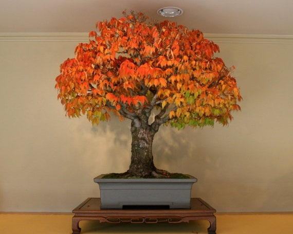 Liquidambar Styraciflua Red Sweet Gum Bonsai Tree Rare Etsy