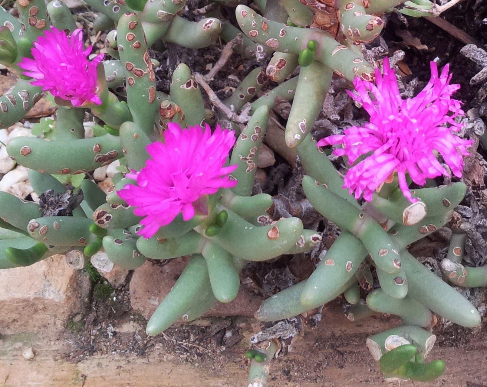 Namaquanthus Vanheerdii Exotic Succulent Pink Flowers Etsy