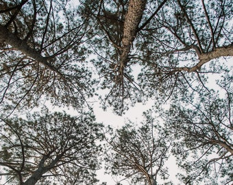 Pine Tree Photo, DIGITAL Photo, Botanical Landscape Photo, Dreamscape, Tree Print, Nature Photo, Trees Tree Art Pine Cones, Digital Download