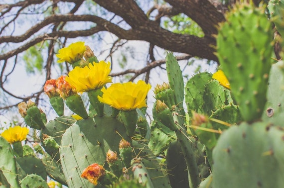Texas cactus cacti wildflower cactus rose yellow flower etsy image 0 mightylinksfo