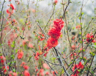 Flowering Quince, Spring Flowers, Flower Photography, Soft Quince Photo, Red Flowers, Green Pastels, Nature Photograph, Fine Art Print Photo