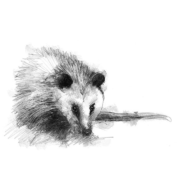 Virginia Opossum Sketch Limited Edition Fine Art Print From Original