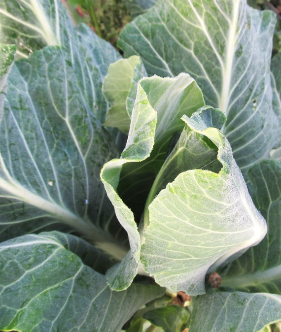 Champion Collards