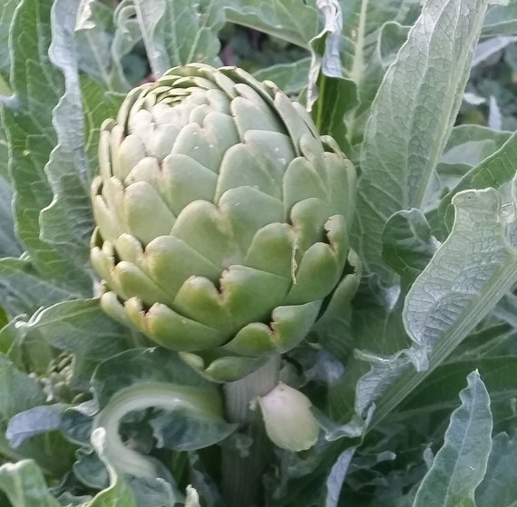 Artichoke, Italian Heirloom Mix