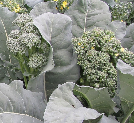 Broccoli: Piracicaba, Brazilian Broccoli